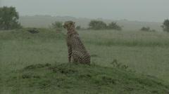 Cheetah (Acinonyx jubatus) on small hill in rain Stock Footage