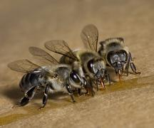 Apis Mellifera, sharing honey collection Stock Photos