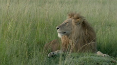 African Lion (Panthera leo) male relaxing and yawning on the plains Stock Footage