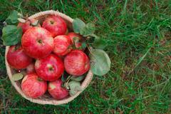 Basket with apples harvest closeup on grass in garden Kuvituskuvat