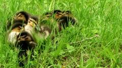 Mallard ducklings in green grass Stock Footage