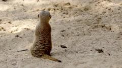 Meerkat or suricate (Suricata suricatta) Stock Footage