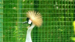 Black crowned crane (Balearica pavonina) Stock Footage