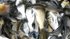 4k, bunch of live freshwater fish 3 Stock Footage