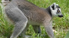 Ring-tailed lemur (Lemur catta) Stock Footage