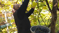 Woman picks grapes Stock Footage