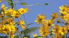 Jerusalem artichoke flowers against blue sky Stock Footage
