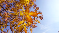 Tree with golden leaves against blue sky, slow motion Stock Footage