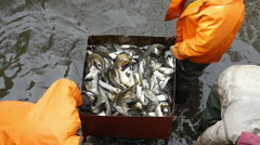 Workers caughting freshwater fish at the factory, slow motion 4 Stock Footage