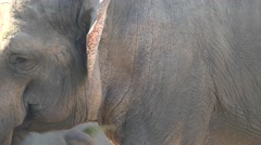Asiatic elephant (Elephas maximus) Stock Footage