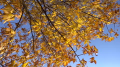 Yellow tree with withered leaves against blue sky, slow motion Stock Footage