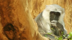 Gray langurs or Hanuman langurs Stock Footage