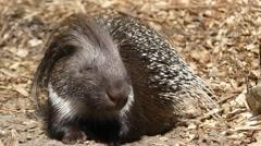 Crested porcupine (Hystrix cristata) Stock Footage