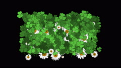 4k Clover white daisy plant vegetation leaf blade background. Stock Footage