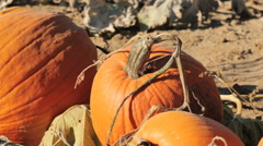 Orange pumpkins on pumpkin patch in early Autumn. Stock Footage