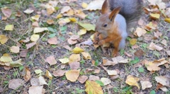 Beautiful squirrel eating nuts in the Park Stock Footage