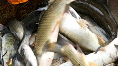4k, bunch of live freshwater fish 1 Stock Footage