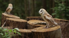 Two beautiful owls (tyto alba) sits on a stump Stock Footage