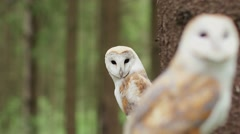 Two barn owl (tyto alba) in the wildlife. Close Stock Footage