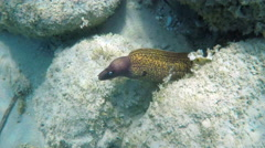 "A medditerranean moray, a ""Muraena Helena"" in Aegean sea in Greece Stock Footage"
