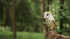 Barn owl (tyto alba) sits on the stump. Forest. Close-up Stock Footage