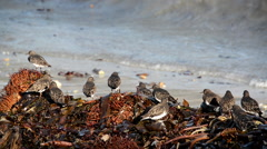 Black Bellied Plovers and Beach Wrack Stock Footage