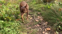 Two purebred dogs walking on the path Stock Footage