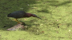 Green Heron Fishing Stock Footage