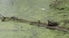Turtle and baby alligator  on a log Stock Footage