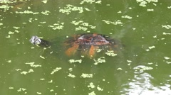 Florida Cooter in the swamp Stock Footage
