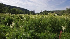 Field with thickets of meadowsweet - medium shot Stock Footage