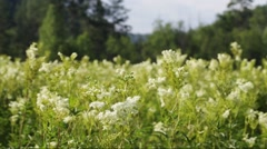 Meadowsweet - close up Stock Footage