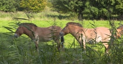 Przewalski's Horse (Equus ferus przewalskii) or Takhi - side view Stock Footage