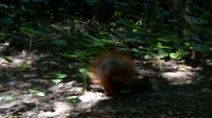 A cute shaky curious squirrel searching for food in the forest Stock Footage