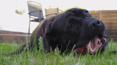 Dog Cane Corso 6m. old gnaws a beef cartilage Stock Footage