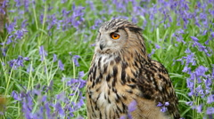 Eagle Owl (Bubo bubo) or Horned Owl in Bluebells Stock Footage