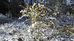 Fresh snow covered trees with autumn colored foliage; snow falls off the leaves Stock Footage
