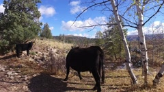 A cow and calf in the fall grazing on national forest land on a fall day Stock Footage