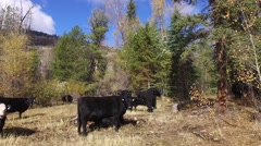 A herd of cattle grazing on national forest land and a milking calf Stock Footage