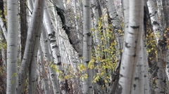 Leaves falling from aspen trees in early fall in the mountains Stock Footage