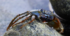 Closeup of a Blue Crab, Fernando de Noronha, Brazil Stock Footage