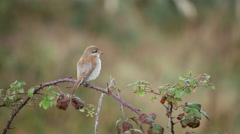 Juvenile Red-backed Shrike (Lanius collurio) in Autumn Stock Footage