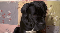 Emotional shot of eyes look of Offended harted young  dog Cane Corso Stock Footage