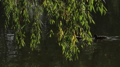 Swimming ducks behind willow branches Stock Footage