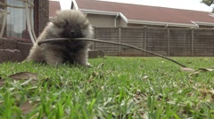 Low Down View of a Pomeranian Puppy Playing with a Stick Stock Footage