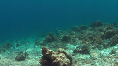 Napoleon on a coral reef. 4k Stock Footage