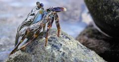 4k Closeup of a Blue Crab, Fernando de Noronha, Brazil Stock Footage