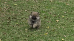 Pomeranian Puppy Plays with Her Owner Stock Footage