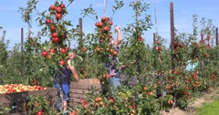 Apple pickers collecting ripe elstar in modern orchard Stock Footage
