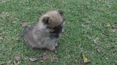 High Angle Shot of Pomeranian Puppy on Grass Stock Footage